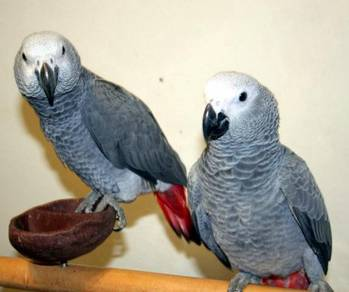 Hand Fed Talking African Gray Parrots