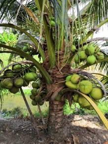 Benih kelapa wangi rendah/sgg tulen
