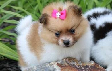 Home Trained Cute Colors Pomeranian Puppies