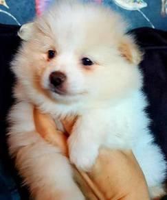 Cute Cream White Male and Female Pomeranian Puppie