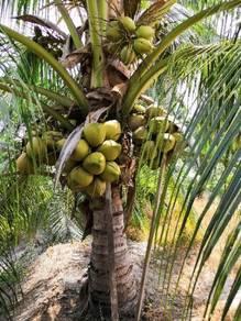Buah kelapa TUA matagf2/sgg TULEN