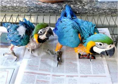 Gold and blue Wings Macaw Babies