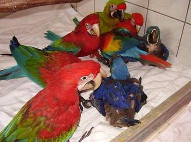 Green wings Babies Macaw