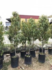 Pokok Durian Musang King 6-7 Kaki Tinggi