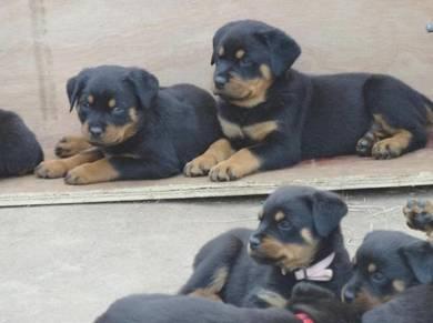 Rottweiler big bones Puppies