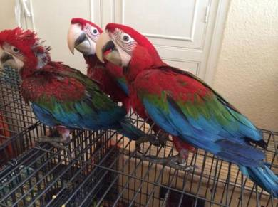 Red and Green Wings Macaw