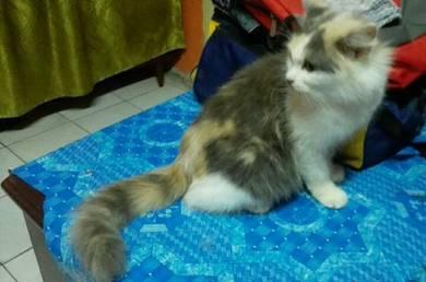 Persian calico pregnant