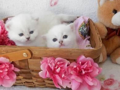Purebred British Short Hair Kittens -blue eyes
