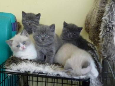 Adorable beautiful British Short hair kittens