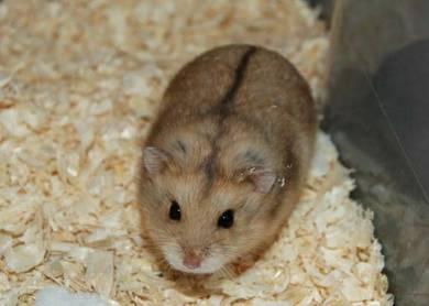 Campbell dwarfs hamster
