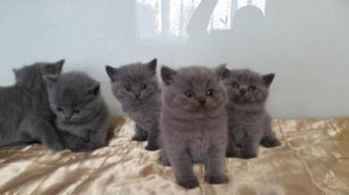 Cute Level Kittens With Excellent Pedigree