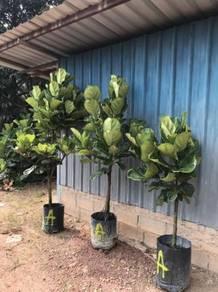 Ficus Lyrata (Tree Shape) 4ft to 7ft OH