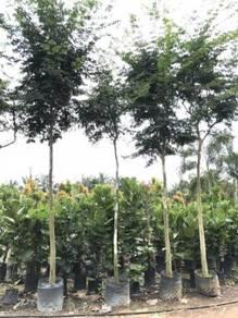 Caesalpinia Ferrea / Leopard Tree