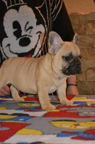 9 weeks old French bulldog puppies