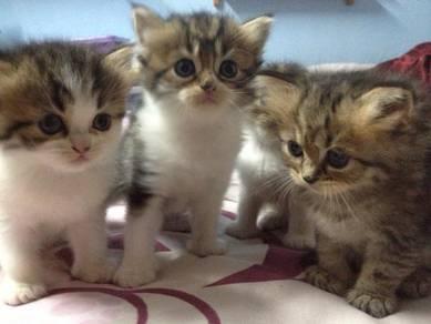 Kucing Persian (baru sebulan)