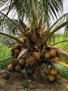 Benih kelapa Tua matag/sgg TULEN