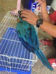 Burung blue and gold macaw