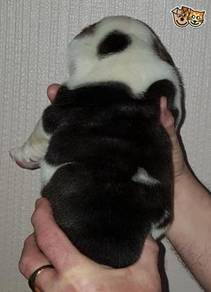 Hand reared baby American Bulldogs available