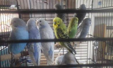 12 baby Budgies Various colours now ready