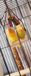 Beautiful Lover birds