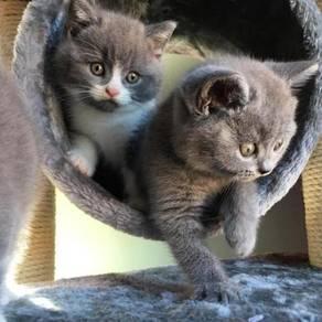 Kitten british shorthair bsh