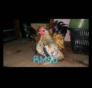 Ayam katik