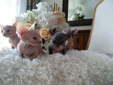 Elite beauty Canadian Sphynx Kittens - Pedigree