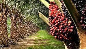 Pahang termeloh 50 acres free hold oil palm plantation
