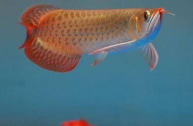 Arowana Blood Red 7 inch