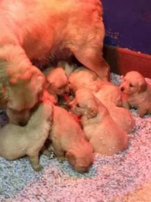 Pure breed Golden Retriever Puppies imported