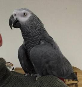 Potty and home trained African Grey Parrots