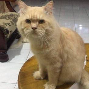 Looking for persian cat not selling