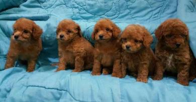 Adorable poodle pups available