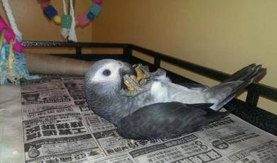Stunning African Grey Parrots available