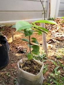 Soursop (Durian Belanda) Plant Selling Cheap