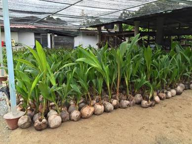 SC90 KELAPA TACUNAN filipina Cocos nucifera Coconu