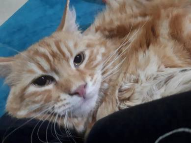 American Curl(non std) to rehome