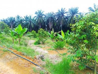 Durian Farm #Kampung Sri Parit #Lukut #Port Dickson
