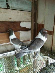 Burung merpati Hana pouters
