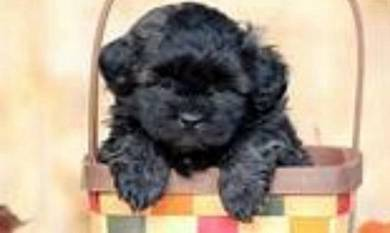 Cute shipoo puppies for sale