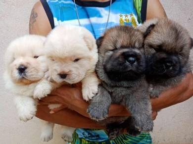 Pure Breed Quality Chow Chow Puppies