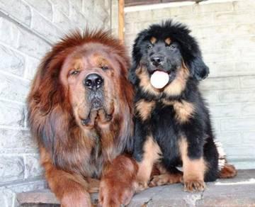 Healthy Cute Tibetan Mastiff