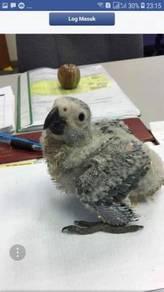 Afican grey burung parrot