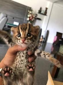 Kucing bengal original pure