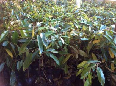 Benih pokok Durian