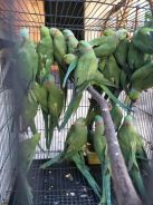 Ringneck burung parrot