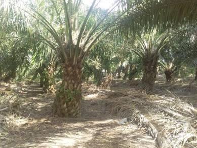Kebun kelapa sawit Pt Unas.Mukim Pt Bakar