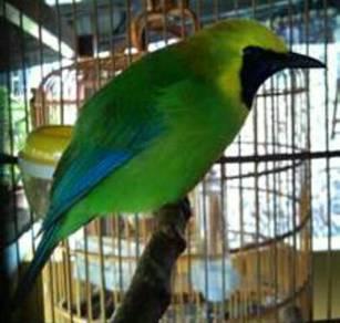 Burung daun sami/hijau kuning