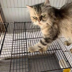 Persian kitten 6-month