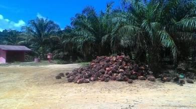 Pahang 5011 Kuala Lipis Ladang Batu Yon Oil Palm Plantation Land SALE